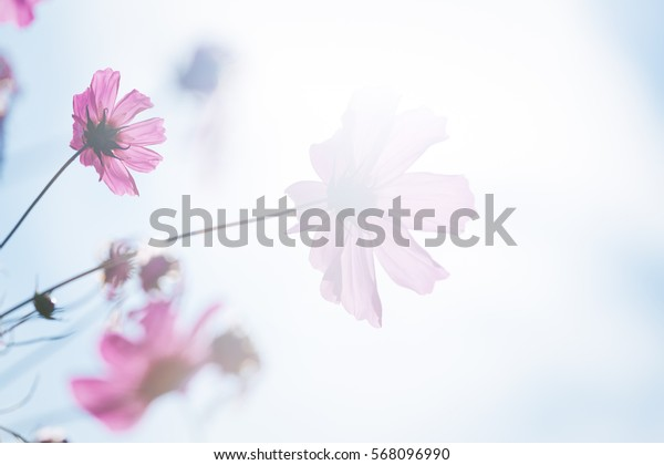 Flower. Pink cosmos on blue sky