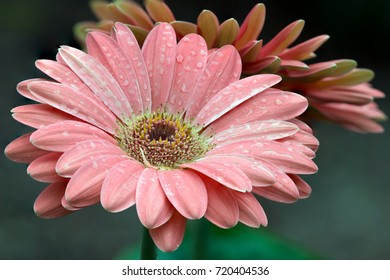 Flower - Pink Daisy (Macro) against a blur green background