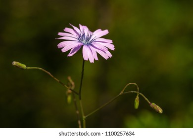 a flower with pink and flat petals on a green background at the end of a long and thin stem