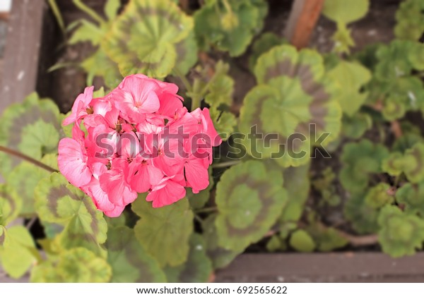 Flower pink with green leaves in a pot. Solar flare