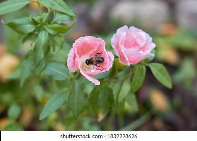 The flower is pink inside the flower an insect collects pollen