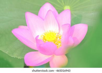 Flower of a pink lotus