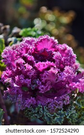 Flower of pink ornamental cabbage in late fall with frosting