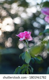 Flower with pink  petals, green leaves and Helios 44M bokeh.