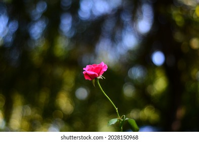 Flower with pink petals and green leaves  and Yongnuo 50 f1.8 lens bokeh  with Nikon D5100