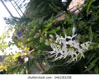 flower plant cat whiskers. medicinal plants.