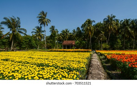 Flower plantation in Mekong Delta, Vietnam. Mekong Delta is the region in southwestern Vietnam where the Mekong River approaches and empties into the sea.