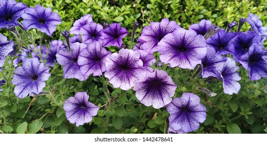 Flower planting bed of Petunia lilac dark vein and Petunia Ray purple vein varieties in temperate climate.