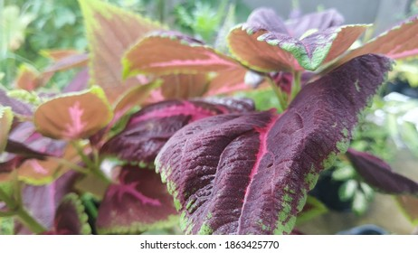 flower plants called red betel or ornamental plants that are often planted in the home garden