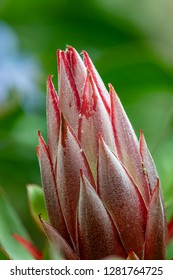 Flower - POINSETTIA WISHES, Giant protea, Honeypot or King Sugar Bush against a nice background.