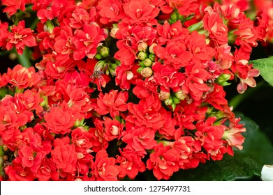 Flower - POINSETTIA WISHES, Kalanchoe Red Flower (Kalanchoe Species)