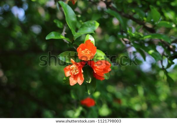 Flower of Pomegranate Tree
