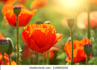 Flower poppy flowering on background poppies flowers. Nature.