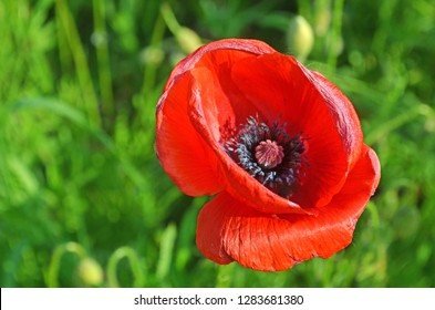 Flower poppy flowering on background poppies flowers. Beautiful blooming poppies in summer. Opiates concept. Pollination and seeds. Morphine effects. Poppy opium source.