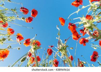 Flower poppy on a background of blue sky