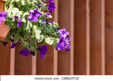 Flower pot with blue petunia flowers dangling from the roof of the house in sunlight with copy space.