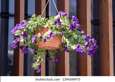 Flower pot with blue petunia flowers dangling from the roof of the house in sunlight.
