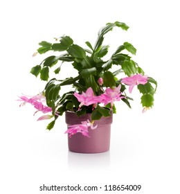 Flower pot with Christmas cactus in bloom on white background