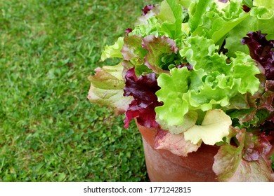 Flower pot full of mixed lettuce plants, red and green salad leaves with copy space on grass