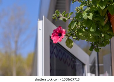 Flower pot with pink red petunia flowers dangling from the roof of the house in sunlight with copy space.