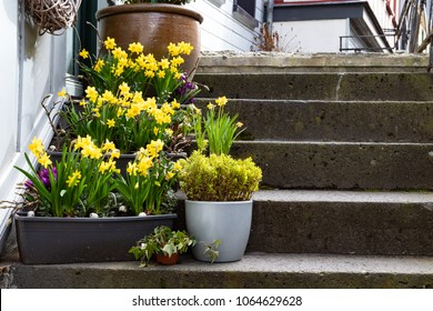 Flower pots with daffodils on a small stairway at the entry of a house