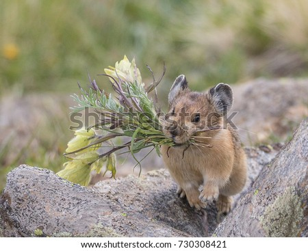 Flower Power - This Pika has clipped off flowers and is running to its secret storage hiding place to store them for a cold winter's day.