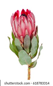 Flower Protea close-up on a clean white background.
