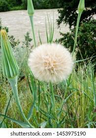 Flower puff ball Yellow Salsify along Chilcotin River