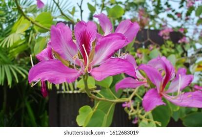 Flower of purple bauhinia, Phanera purpurea