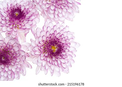 Flower purple chrysanthemum close up - floral background