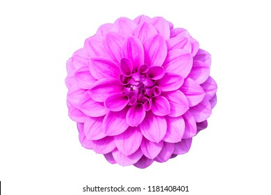 Flower purple dahlia on a white isolated background with clipping path