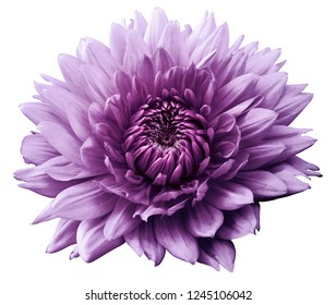 Flower purple motley dahlia. Isolated on a white background. Close-up. without shadows. For design.