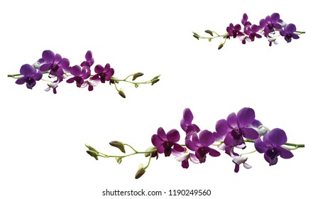 Flower purple orchid Background white.