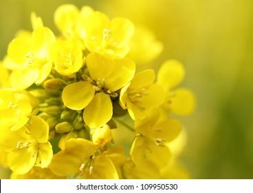 Flower of the rape