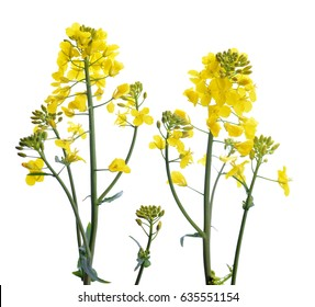 Flower of a rapeseed, Brassica napus, isolated on white background.