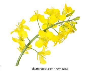 Blume von Raps, Brassica napus, einzeln