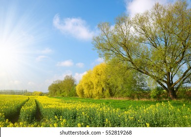 Flower of a rapeseed in spring landscape.