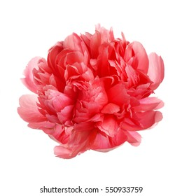 Flower rare salmon-colored peony isolated on white background.