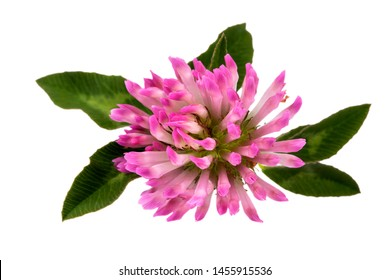 Flower of red clover isolated on white background, close up