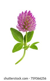 flower of a red clover clover with leaves and a stem close-up isolated on a white background