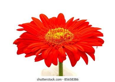 Flower of an red gerber isolated on white, closeup