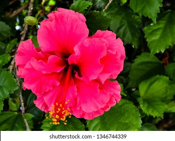 Flower - Red Hibiscus