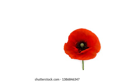Flower red poppies ( Papaver rhoeas, common names: corn poppy, corn rose, field poppy, red weed ) on a white background with space for text. Top view, flat lay