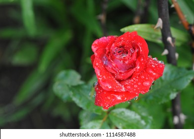 flower of a red rose in the morning dew closeup