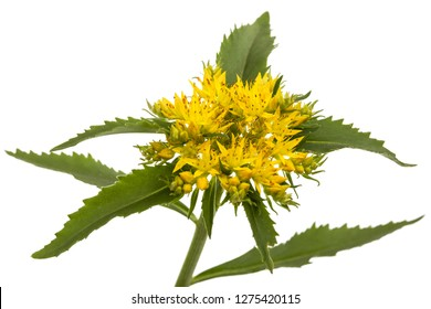 Flower of rhodiola rosea, isolated on white background