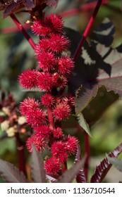 Flower Ricinus communis in garden