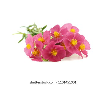 Flower of Rock-rose (Helianthemum apenninum) on white background