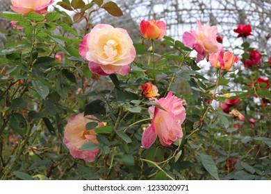 The flower of the rose of the rose garden (Abracadabra)
