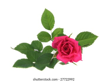 Flower of a rose of pink color on white background.