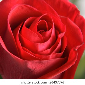 Flower of a rose of red color close up.
